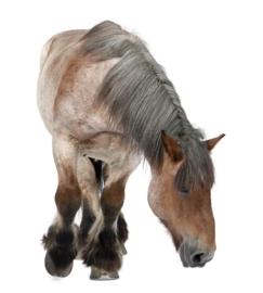 Hondensnacks Paard