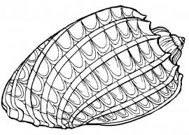 Schelp (2)