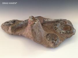 Fossiele plaat met goniatieten & ortocerassen