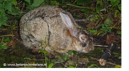 Myxomatose konijn gezond voer kruiden