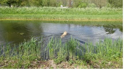 Blauwalg botulisme hond zwemmen