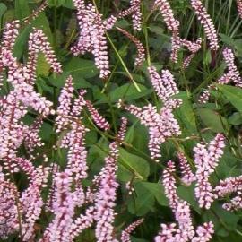 Persicaria amplexicaulis `Serpentine`