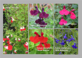 Salvia microphylla Collectie