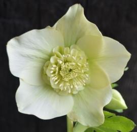 Helleborus  Anemone flowered