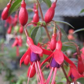 Fuchsia `David`