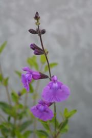 Salvia 'Salvinio Lilac' ®