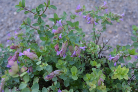 Origanum 'Bristol Cross'