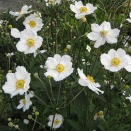 Anemone hybride `Honorine Jobert`