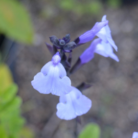 Salvia microphylla  'So Cool Pale Blue' ®
