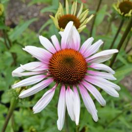 Echinacea  'Funky White' ™