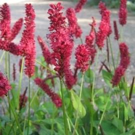 Persicaria amplexicaulis 'Blackfield' (PBR)