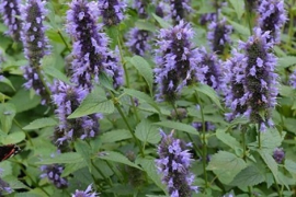Agastache  `Black Adder`