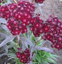 Dianthus barbatus nigrescens