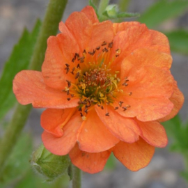 Geum 'Totally Tangerine'®