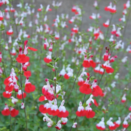 Salvia `Hot Lips`