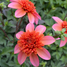 Dahlia `Totally Tangerine'`