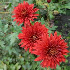 Chrysanthemum 'Königssohn'