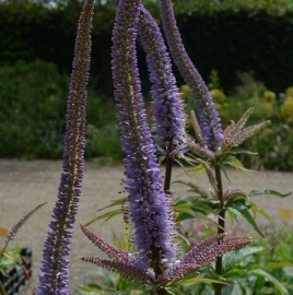 Veronicastrum  `Red Arrows`