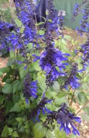 Blauw, paars & wit border, 6m2