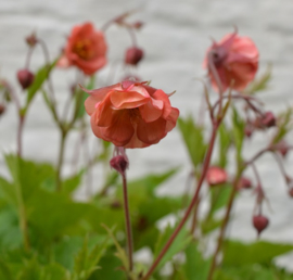 Geum 'Salmon Delight'®