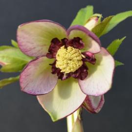 Helleborus 'Pink Picotee Anemone Pride' strain