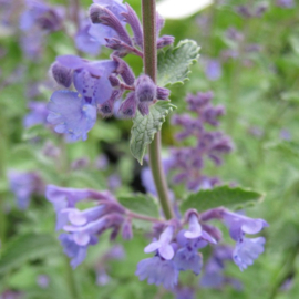 Nepeta `Walker`s Low`