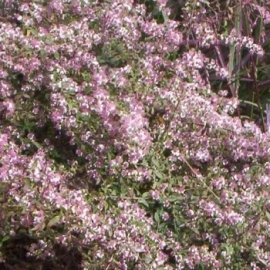 Aster lateriflorus `Lady in Black`