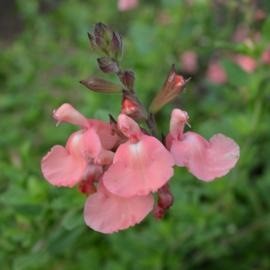 Salvia 'Ribambelle'