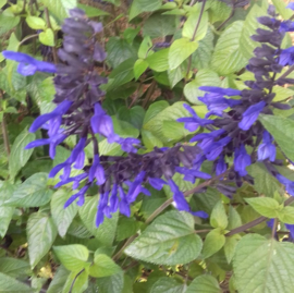 Salvia 'Lake McKenzie' ®
