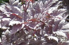 Actaea simplex `Pink Spike` (Cimicifuga)