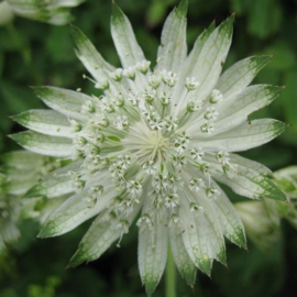 Astrantia major `Superstar` PBR  ( syn  'White Giant' )