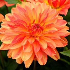 Dahlia `Orange Queen`