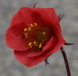 Geum 'Flames of Passion' ®