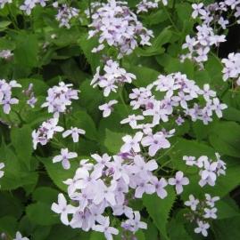 Lunaria   - Viola