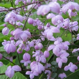Thalictrum 'Splendide' (PBR)