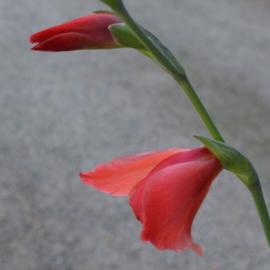 Gladiolus 'David Hills' (papilio hybrid)