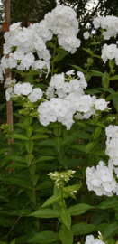 Phlox paniculata `Snow Clouds'
