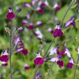 Dahlia & Salvia border, 4.5m2