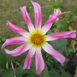 Dahlia `Honka  Rose'