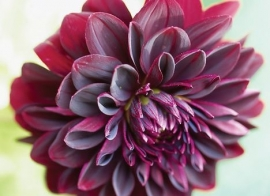 Dahlia `Arabian Night`