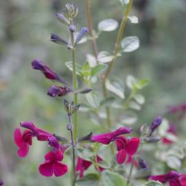 Salvia microphylla `Dyson's Maroon`