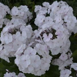 Phlox paniculata `Monica Lynden-Bell`