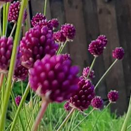 Allium spaerocephalon