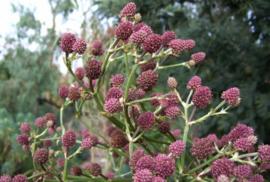 Eryngium pandanifolium 'Physic Purple'