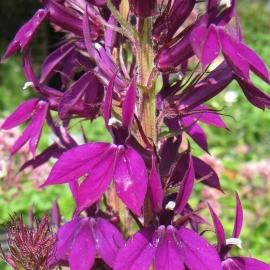 Lobelia `Hadspen Purple` (PBR)
