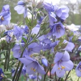 Polemonium  yezoense`Bressingham Purple' ®