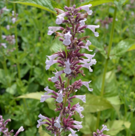 Nepeta `Dawn to Dusk`