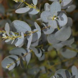 Eucalyptus gunnii ssp. divaricata