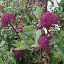 Angelica gigas