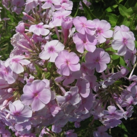 Phlox paniculata `Lilac Clouds`